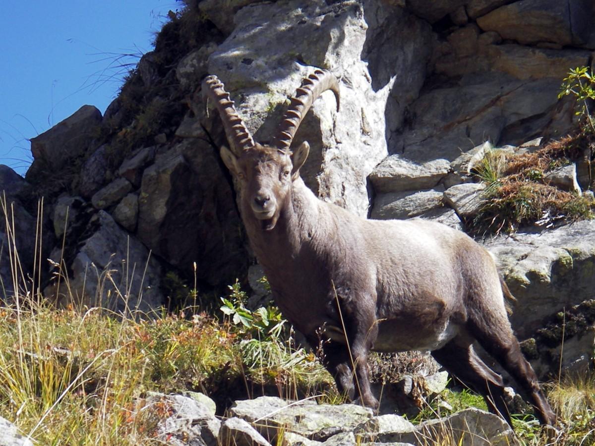 Chamrousse faune animal mammifère bouquetin station montagne été alpes france