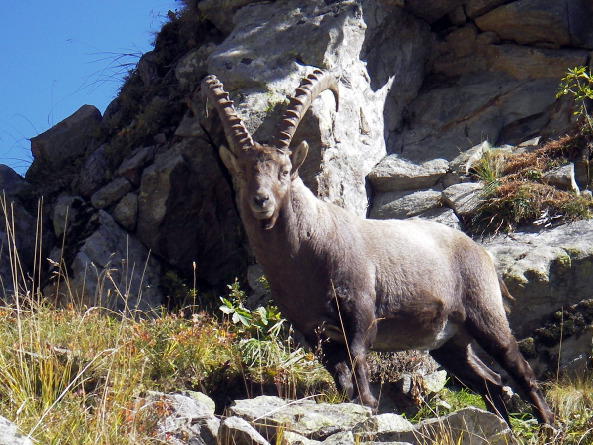Chamrousse ibex