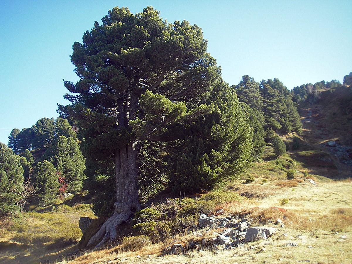 Chamrousse remarkable tree mountain summer resort grenoble isere french alps france