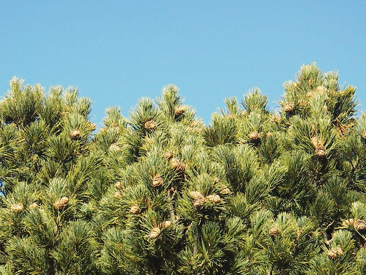 Chamrousse remarkable tree mountain hooked pine summer resort grenoble isere french alps france