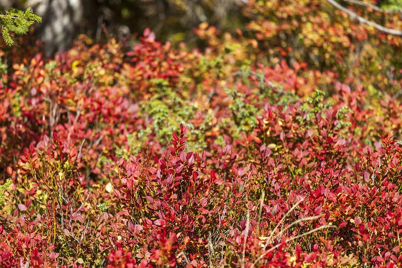 Chamrousse automne buisson couleur rouge plateau arselle station montagne grenoble isère alpes france - © Ann David
