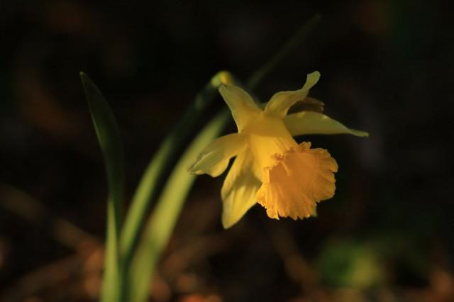 Chamrousse flore fleur jonquille avril station montagne grenoble isère alpes france