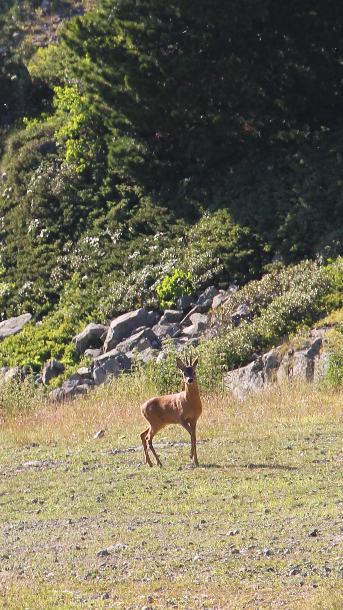 Chamrousse mountain animal deer summer resort grenoble isere french alps france - © SD - Office de Tourisme de Chamrousse