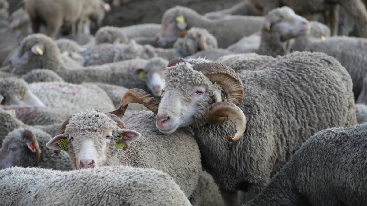 Chamrousse mountain animal sheep summer resort grenoble isere french alps france - © SD - OT Chamrousse