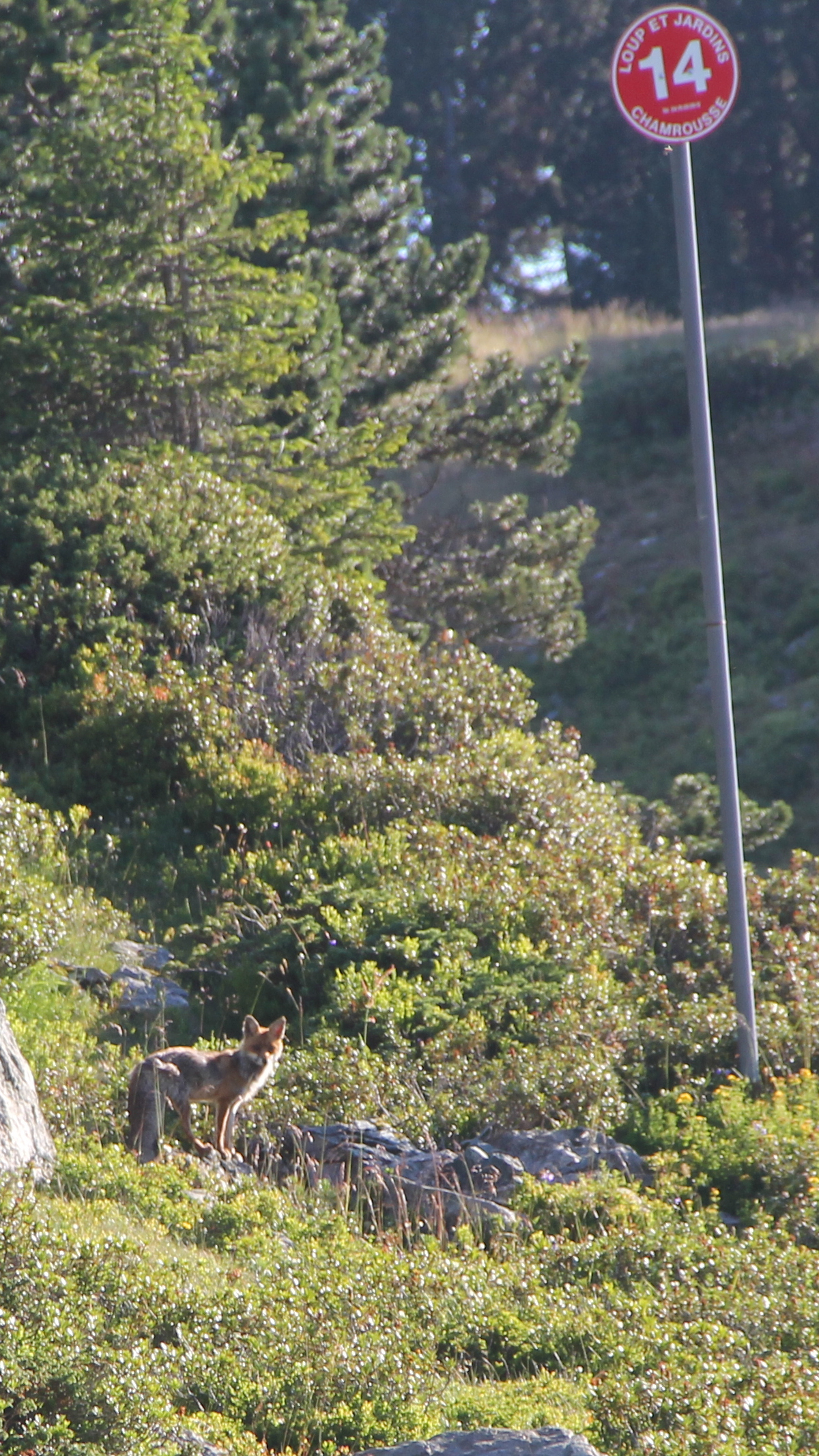 Chamrousse mountain animal fox summer resort grenoble isere french alps france - © SD - Office de Tourisme de Chamrousse