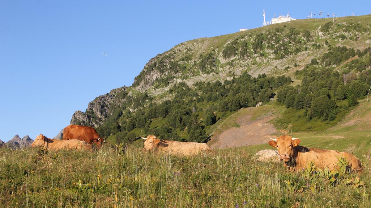 Chamrousse mountain animal cow summer resort grenoble isere french alps france - © SD - OT Chamrousse